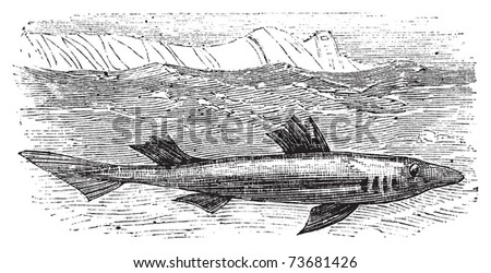 Spiny dogfish, spurdog, mud shark, piked dogfish or Squallus acanthias vintage engraving.. Old antique engraved illustration of the piked dogfish shark in his environment.