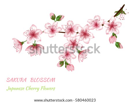 Spring blooming branch vector illustration with pink and green buds. Realistic design on white. Sakura blossom, Japanese Cherry flower text. Card template. Spring blossom branch isolated, pink flowers