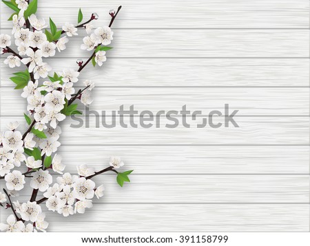 Spring blooming cherry branch on white old wood background. Realistic vector illustration.