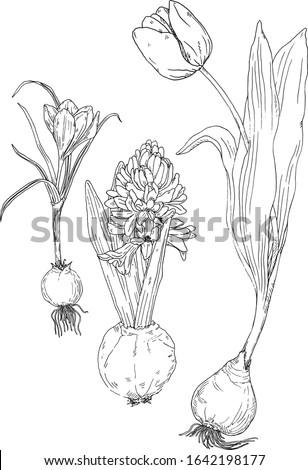 spring bulb flowers hand drawn
