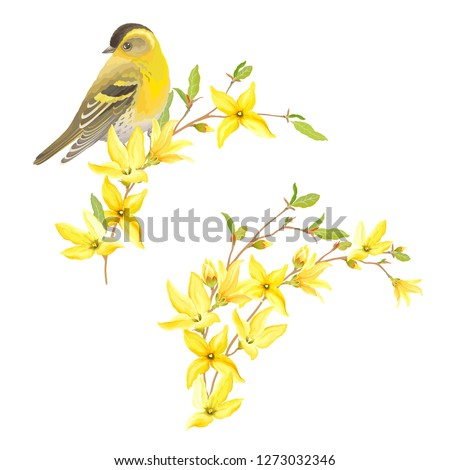 Spring decor for your design with bird Siskin, blossoming yellow flowers and green leaves on branches Forsythia. Vector tender illustration in watercolor style.