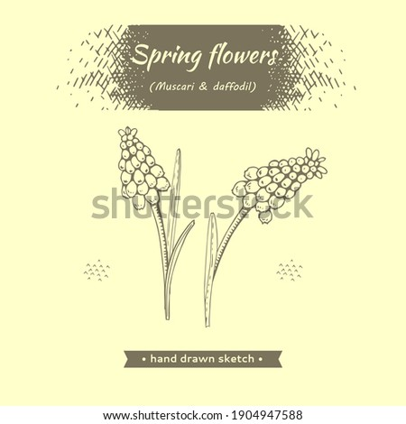 spring flawers  muscaries