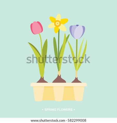 Spring flower bulbs tulip daffodil crocus in tray vector illustration