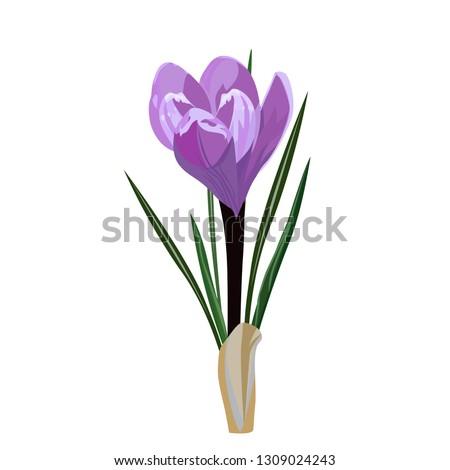 spring flower  crocus vector