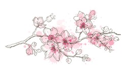 Spring sakura flowers blossom art, hand drawn watercolor style. Cute paint cherry plant. Vector illustration, isolated on white background. Realistic floral bloom for japanese, chinese holiday card