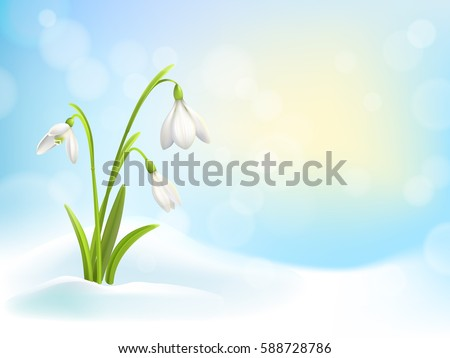 spring snowdrop flowers with