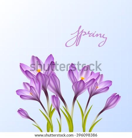 spring violet crocus flowers on