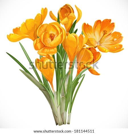 spring yellow crocuses on the