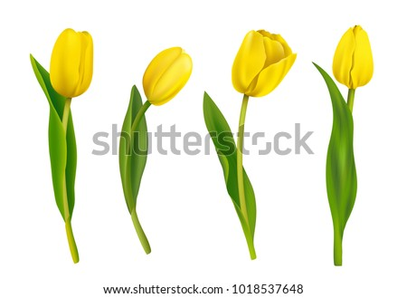 spring yellow tulips isolated