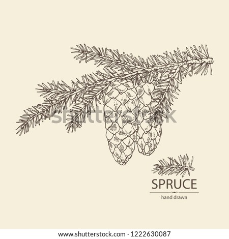 Spruce: branch of spruce with cone. Cosmetics and medical plant. Vector hand drawn illustration.