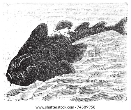 Squatina angelus or Angel shark old engraving.  Angelshark engraved illustration