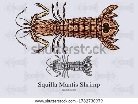squilla mantis shrimp vector