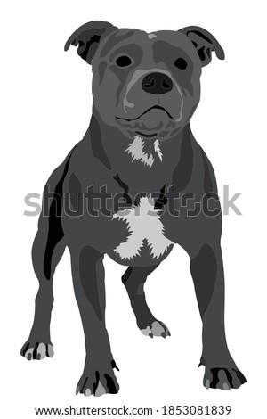 stafford shire bull terrier on