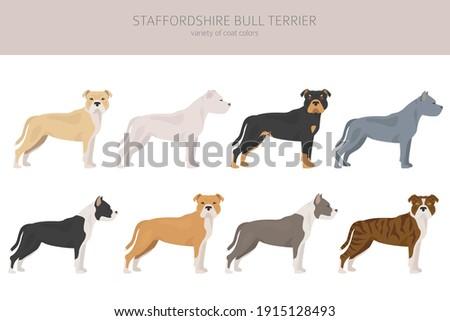 staffordshire bull terrier in
