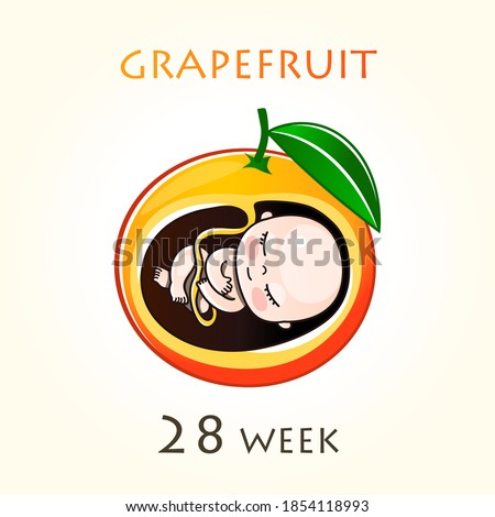 Stages of development of pregnancy, the size of the embryo for weeks. Human fetus inside the uterus. 28 week of 42 weeks of pregnancy. Vector illustrations grapefruit