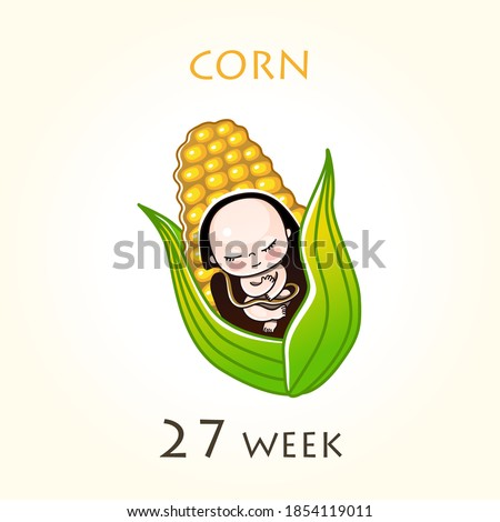 Stages of development of pregnancy, the size of the embryo for weeks. Human fetus inside the uterus. 27 week of 42 weeks of pregnancy. Vector illustrations corn