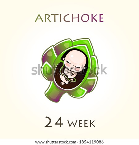 Stages of development of pregnancy, the size of the embryo for weeks. Human fetus inside the uterus. 24 week of 42 weeks of pregnancy. Vector illustrations artichoke
