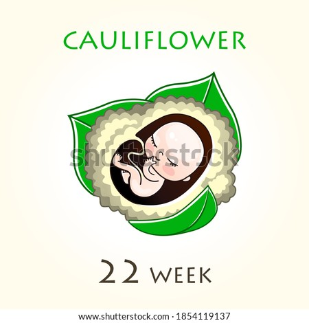 Stages of development of pregnancy, the size of the embryo for weeks. Human fetus inside the uterus. 22 week of 42 weeks of pregnancy. Vector illustrations cauliflower