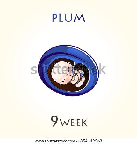 Stages of development of pregnancy, the size of the embryo for weeks. Human fetus inside the uterus. 9 week of 42 weeks of pregnancy. Vector illustrations plum