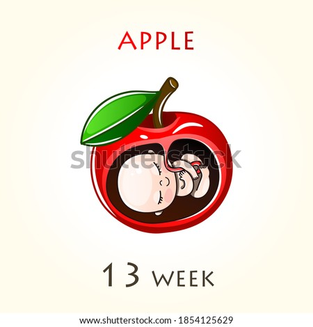 Stages of development of pregnancy, the size of the embryo for weeks. Human fetus inside the uterus. 13 week of 42 weeks of pregnancy. Vector illustrations Apple