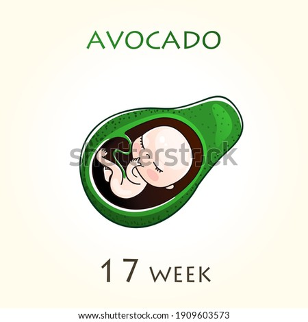 Stages of development of pregnancy, the size of the embryo for weeks. Human fetus inside the uterus. 17 week of 42 weeks of pregnancy. Vector illustrations avocado