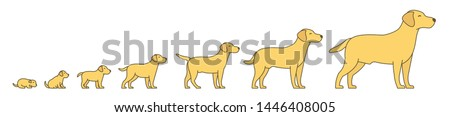 Stages of dog growth set. From puppy to adult dog development. Animal mammals pets. Labrador retriever grow up animation progression. Pet life cycle. Flat vector.