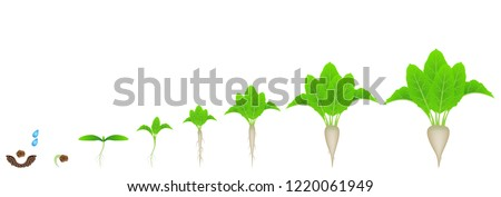 Stages of growth of sugar beet on a white background.