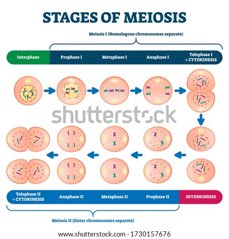 Stages of meiosis vector illustration. Labeled cell division process explanation scheme from genetic aspect. Interphase and interkinesis diagram with phases structural changes. Educational infographic Foto d'archivio ©