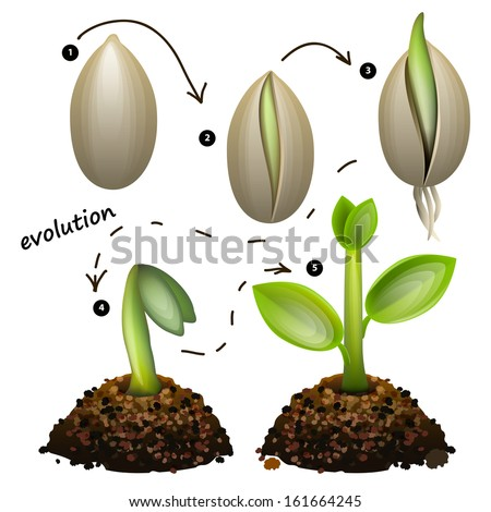 stages of plant growth