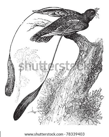 standard winged nightjar or