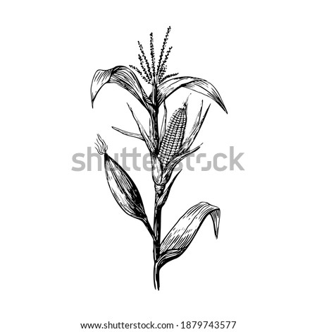 Stem and grains of corn in a sketch style hand drawing on a white background. Leaves and cob black contour line. Stock photo ©