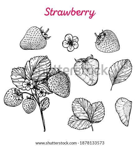 Strawberry hand drawn vector illustration. Strawberries sketch. Vector illustration. Black and white.