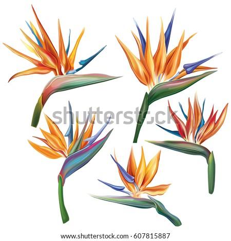 strelitzia reginae flower  bird