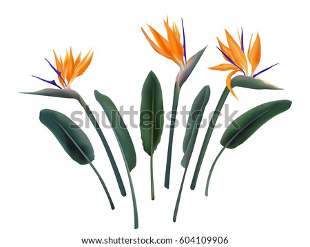Shutterstock Strelitzia Reginae flower vector illustration collection isolated on white. Green leaves, orange and violet blossom realistic design set. South African plant, so called crane or bird of paradise.