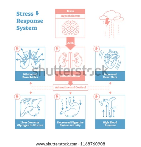 Stress response biological system vector illustration diagram,anatomical nerve impulses scheme with brain, adrenal glands, heart rate, blood pressure, breathing and other processes.Outline design.