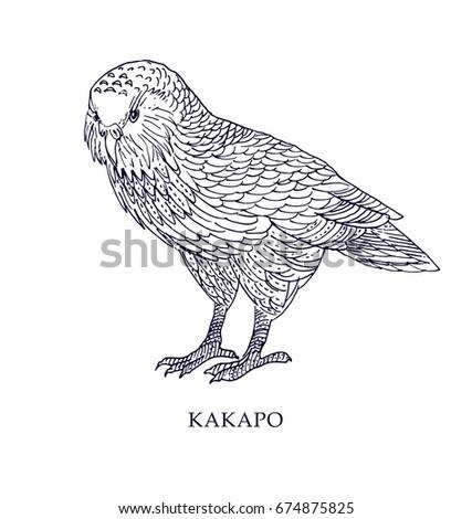 strigops habroptila   kakapo