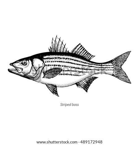 Bass Fish Vector At Vectorified Com Collection Of Bass Fish