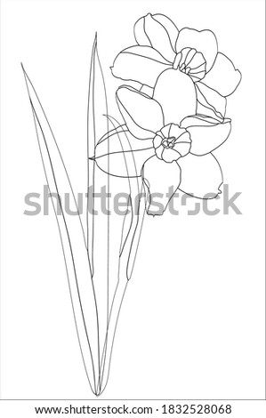 striped narcissus on a white