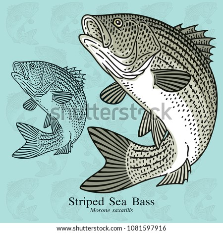 Striped Sea Bass. Vector illustration with refined details and optimized stroke that allows the image to be used in small sizes (in packaging design, decoration, educational graphics, etc.)
