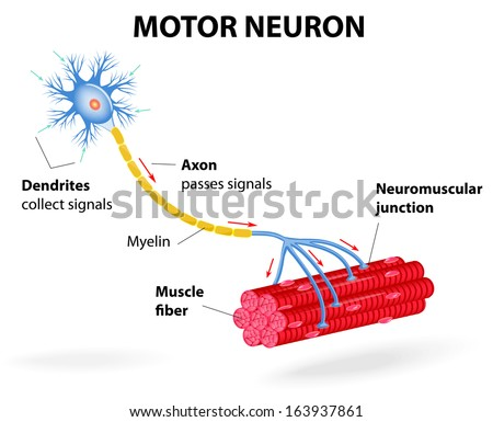structure motor neuron. Include dendrites, cell body with nucleus, axon, myelin sheath, nodes of Ranvier and motor end plates. The impulses are transmitted through the motor neuron in one direction