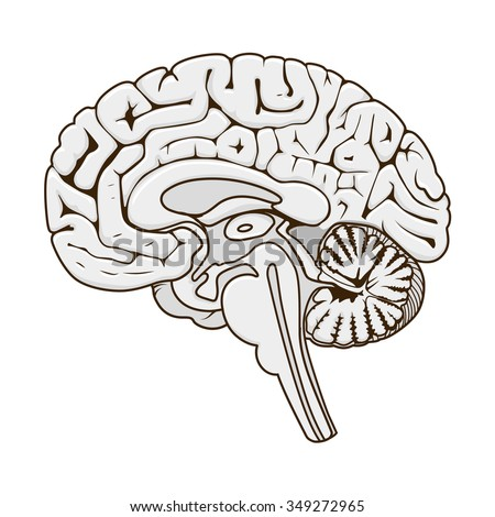 Royalty Free Human Brain Sagittal View Medical 74319967 Stock