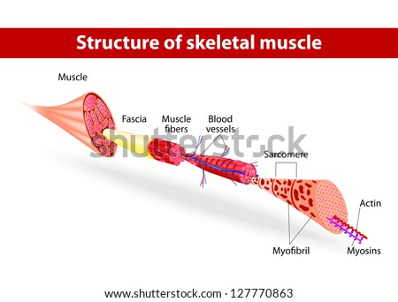 Structure of skeletal muscle. Vector illustration