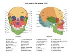 Structure of the human skull with main parts labeled. Anterior view and lateral view. Vector illustration