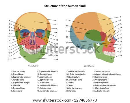 structure of the human skull