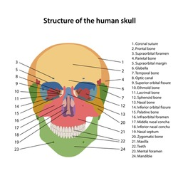 Structure of the human skull with main parts labeled. Frontal view. Vector illustration