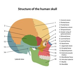 Structure of the human skull with main parts labeled. Lateral view. Vector illustration