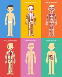 Stylized human body anatomy chart: skeletal, muscular, circulatory, nervous and digestive systems. Flat cartoon style.