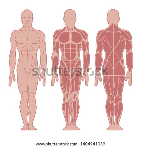 Stylized muscle man anatomy. Image front and back. Male body major muscles, flat cartoon vector style. Infographic illustration. Anatomy of male muscular system. Vector illustration
