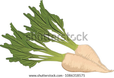 sugar beets isolated / vector illustration