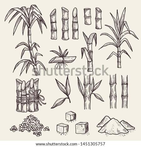 Sugar cane. Fresh sugar harvest agriculture plantation vector hand drawn plants. Sugarcane natural, plant harvest, cane sugar illustration